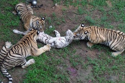 """山东动物园上演""""虎毒食子"""" 三老虎凶残咬死幼虎"""