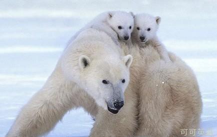 对这两只贪玩的北极熊幼崽来说,这个又大又暖和的东西是他们的母亲.