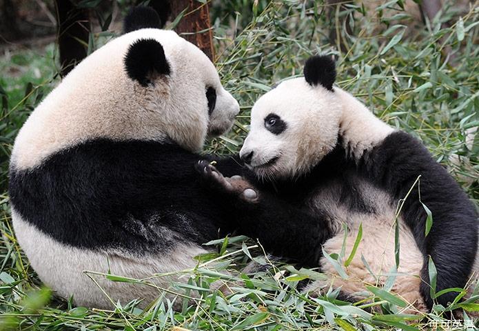 妈妈国宝带孩子,原来大熊猫的黑眼圈是这样来2924yy表情包图片