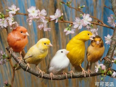 美国男人的鸟_科学美国人60秒:鸟类大脑需要激素才能展现完美歌喉