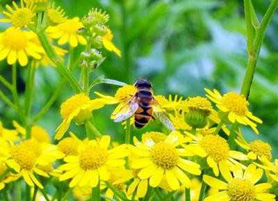 蜜蜂采花矢量图