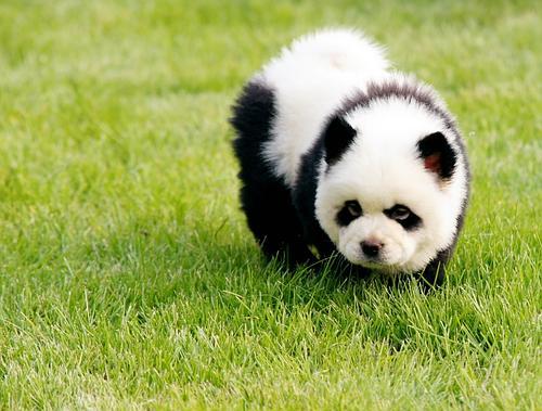 """中国狗界新""""宠"""" 小小熊猫狗惹人爱"""