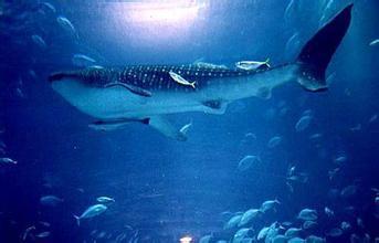 蓝鲸.jpg