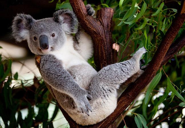 考拉抱树.jpg