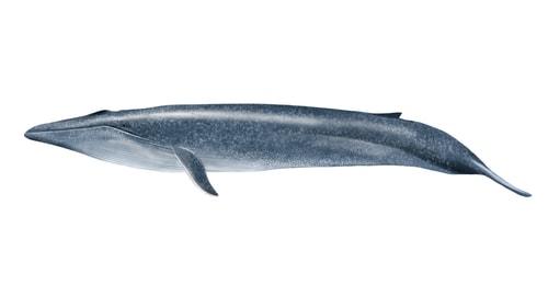 简笔画动物蓝鲸