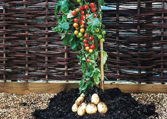 番茄马铃薯.jpg
