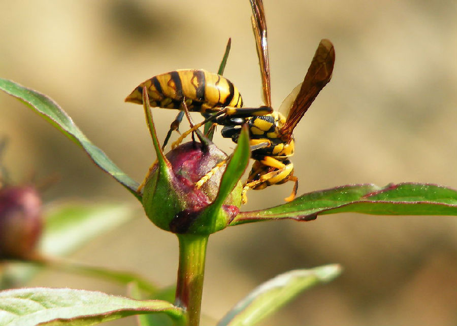 英国语文第二册(mp3 中英字幕) 第16期:黄蜂和蜜蜂