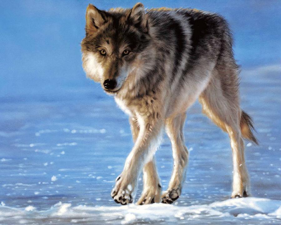 很可爱的狼