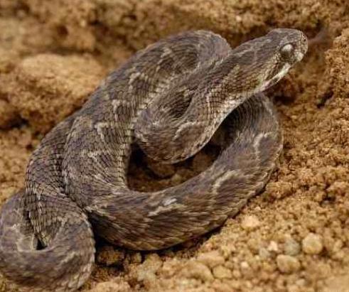 蝰蛇遍布世界的大部分地方,但是据证明最毒的是锯状鳞片蝰高清图片