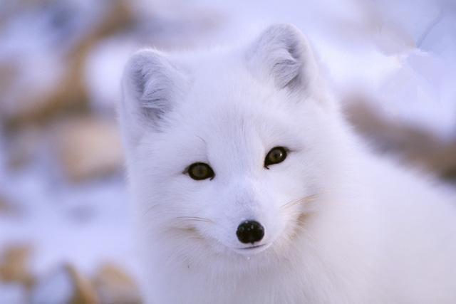 动物狐狸萌版图片
