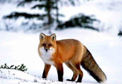 壁纸 动物 狐狸 桌面 510_352