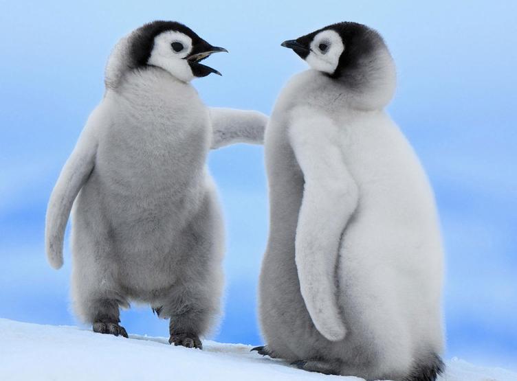 它的确很可爱, 但是为什么那只企鹅会穿毛衣?