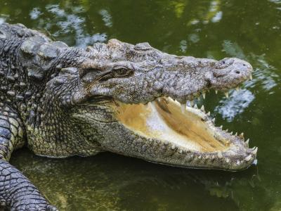 澳大利亚:与致命的鳄鱼一起游泳