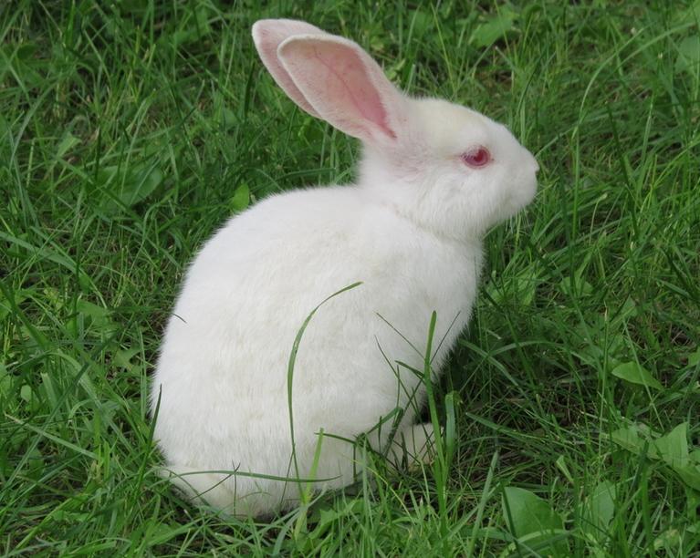 双语笑话 第168期:奔跑的小白兔