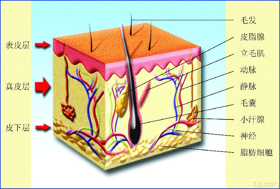 皮肤和黏膜与其下的血管交换氧气,营养物质以及液体,生成新细胞,清除