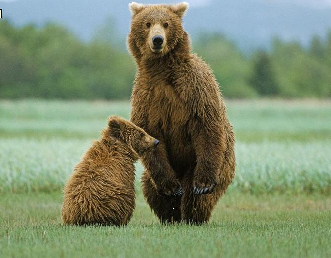 动物好伙伴棕熊
