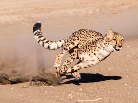 简笔画动物猎豹