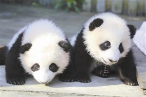 """成都大熊猫双胞胎取名 """"奥林匹亚""""和""""福娃"""".jpg"""