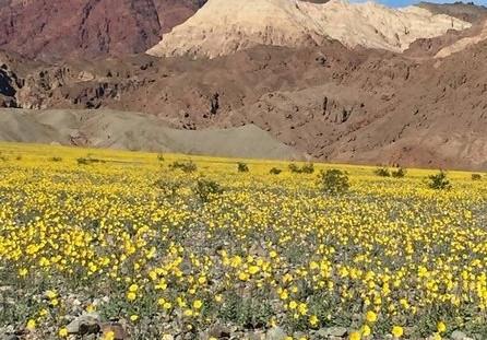 美国死亡谷开满罕见鲜花:十年一遇!
