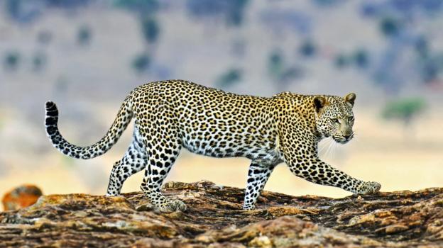 豹 豹子 壁纸 动物 桌面 624_350