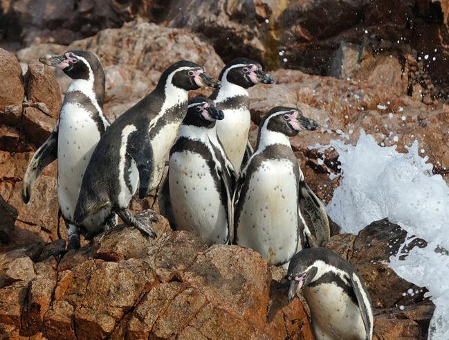 壁纸 动物 企鹅 649_491
