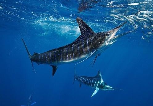 十大速度最快的海洋动物(下)