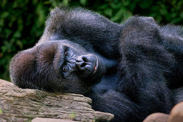 动物园枪杀大猩猩.jpg