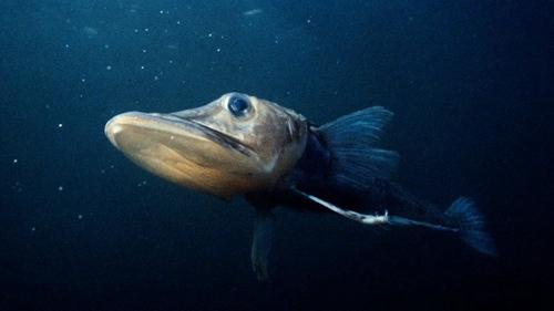 南极鱼.jpg