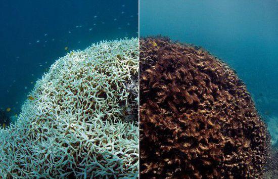 大堡礁珊瑚白化事件.jpg