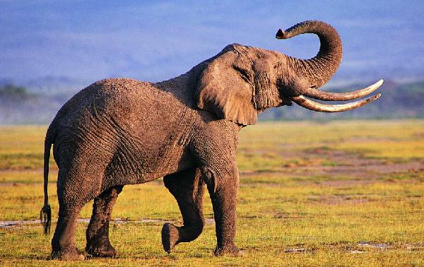 大象惊人的记忆力