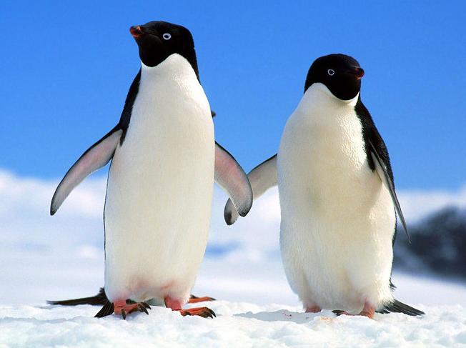 连企鹅蛋摄像机也感受到了它们的兴奋劲