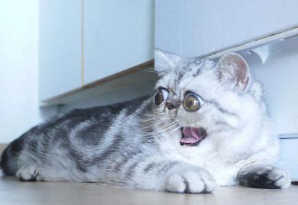 """因眼睛太大睡觉不合眼 """"惊吓猫""""走红网络"""