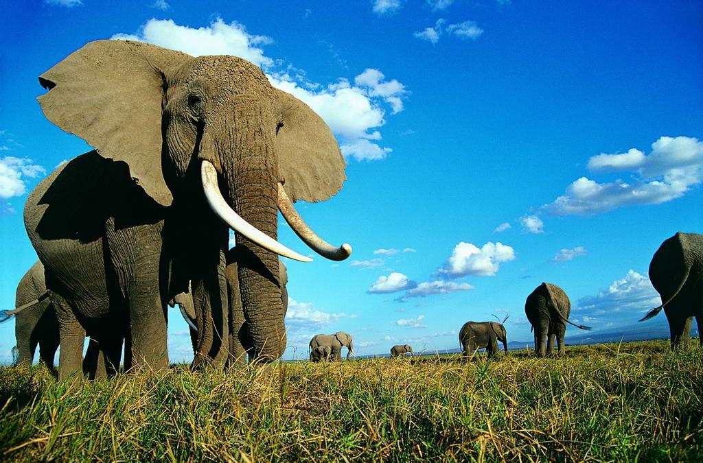 大象被猎杀.jpg