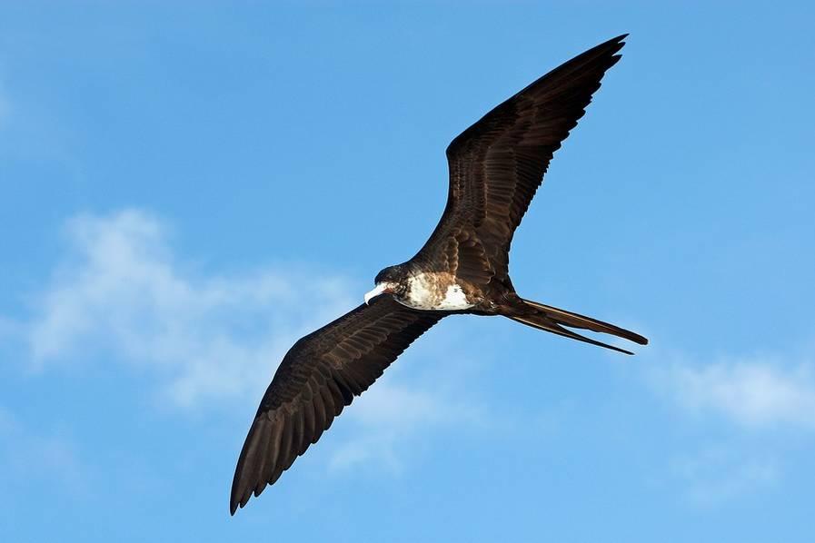 美国男人的鸟_科学美国人60秒:军舰鸟可连续飞行两个月 边飞边睡觉