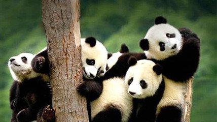 国家林业局称大熊猫仍是濒危物种