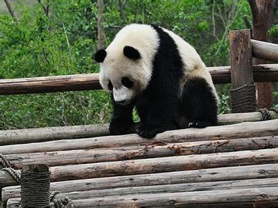 赣州森林动物园的饲养员定期向动物园的大熊猫滋冷水