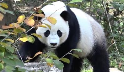 美国国家动物园大熊猫宝宝将搬迁到中国