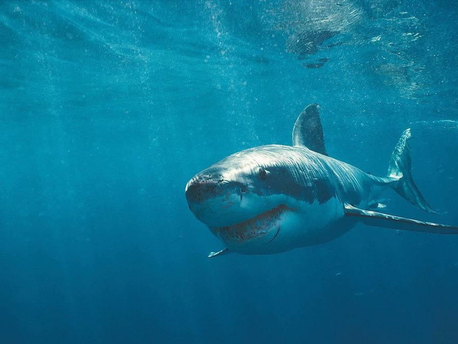 鲨鱼.jpg