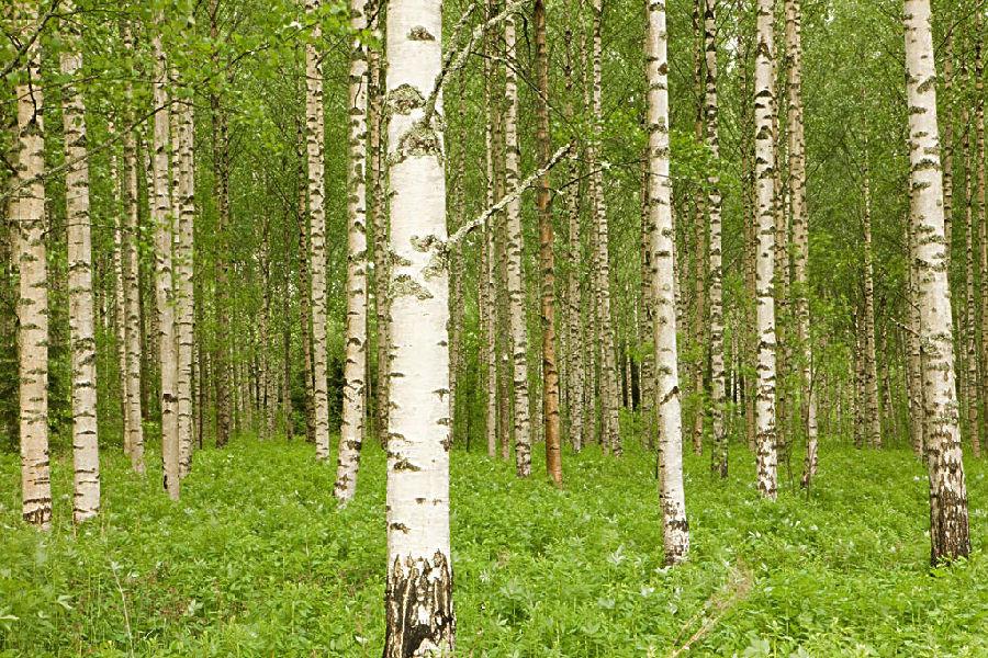 桦树.jpg