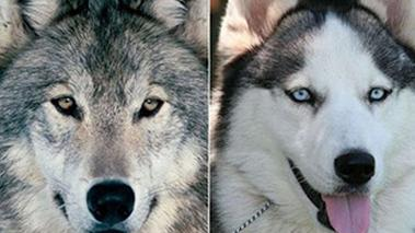 日前,中国山东省一家动物园承认将一只受伤的哈士奇放进了一个狼群