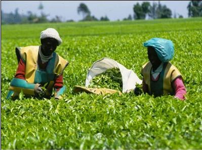 肯尼亚种植茶叶.png