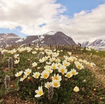 位于格陵兰的水杨梅花.jpg