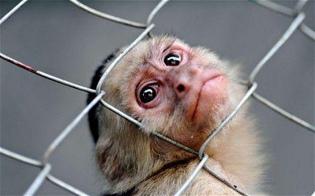 猴子是什么原因_研究发现 猴子不会说话是因为大脑的原因