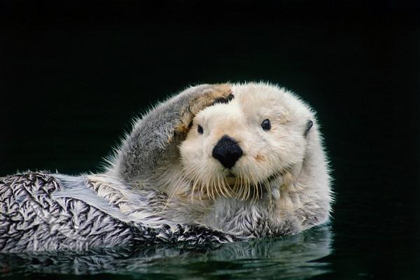 动物总动员水獭
