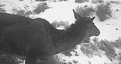 中国新疆省西北部拍摄的关于这个稀有动物的珍贵素材