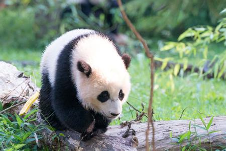 """旅美大熊猫""""宝宝""""回国在即.jpg"""