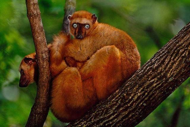 全球超半数灵长类动物濒临灭绝.jpeg