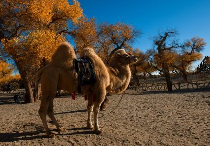 东非骆驼接受赛跑训练.jpg