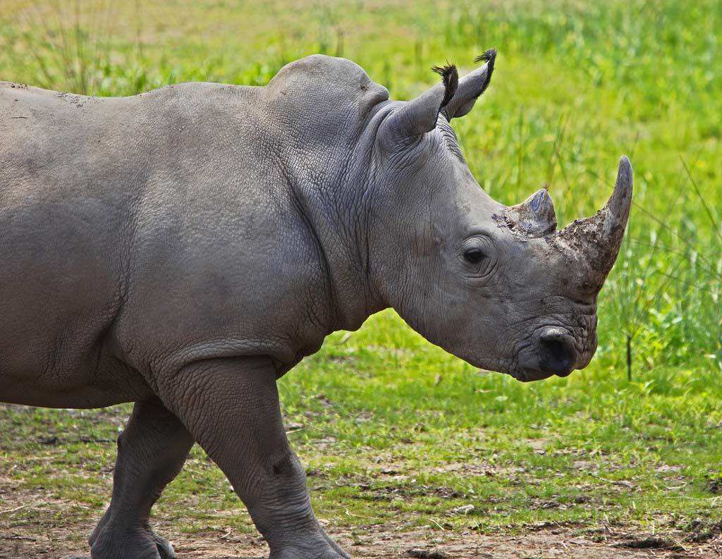壁纸 犀牛 野生动物 1024_793