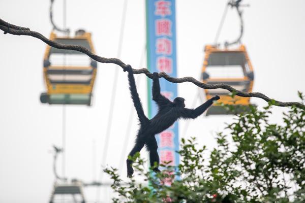 【背景】 广州长隆野生动物世界22日同时开放空中缆车、熊猫乐园两大新项目。该空中缆车全长约2.4公里,呈三角形封闭环线,跨越园区几大核心景区,开启空中观赏野生动物的全新视角。 【新闻】 请看《中国日报》的报道 Asia's first cable car line at a safari park was officially put into use in Guangzhou, the capital of Guangdong province, on Wednesday, allowing v
